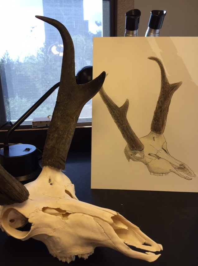 pronghorn-pic-and-skull