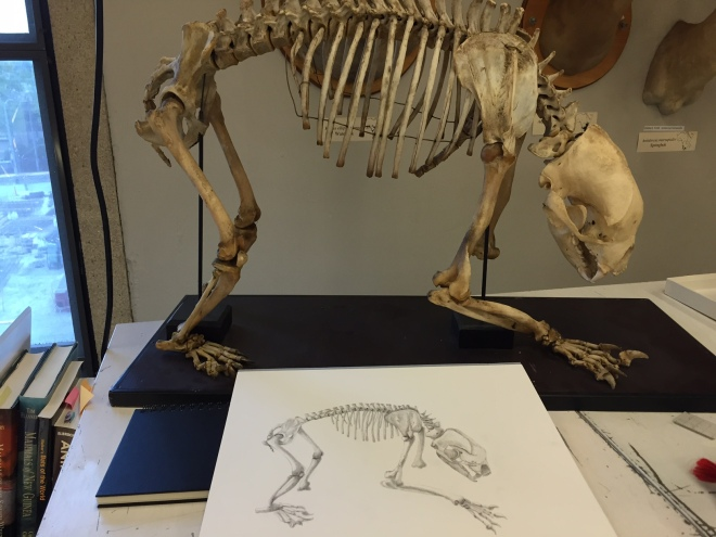sun-bear-skeleton