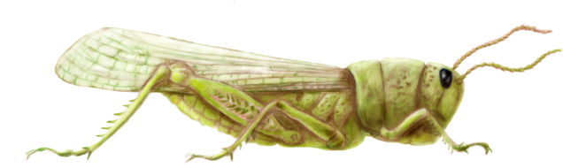 grasshopper-cleaned-1